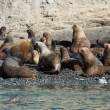 Colony of sea lions in Patagonia, South America — Stock Photo