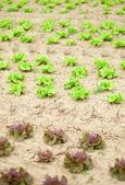 Frische Lattuce auf einer farm — Stockfoto