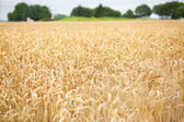Beautiful golden cereal field — Stockfoto