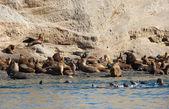 Grande colônia de leões marinhos na patagônia, américa do sul — Foto Stock