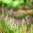 Closeup of beautiful heather flowers in a forest - Stock Photo