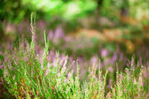 Closeup of beautiful heather flowers in a forest — Stock Photo