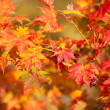 Beautiful red japanese maple leaves at fall — Stock Photo