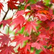 Colorful Japanese maple leaves at fall — Stock Photo
