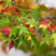 Colorful Japanese maple leaves at fall — Stockfoto