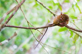 Philippine tarsier (Tarsius syrichta), the smallest primate in n — Stock Photo