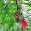 Philippine tarsier on a branch - Stockfoto