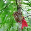 Philippine tarsier on branch — Stock Photo #21011601