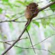 Stock Photo: Philippine tarsier in woods
