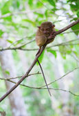 Philippine tarsier in the woods — Stock Photo