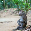Crab-eating macaque on Palawan, Philippines - Stock Photo