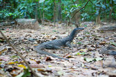 Monitor lizard in natural habitat — Stock Photo
