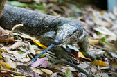 Monitor lizard with long tongue, hunting — Stock Photo