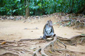 Crab-eating macaque in its natural environment — Stock Photo
