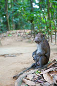 Crab-eating macaque on Palawan, Philippines — Stock Photo