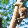 Crab-eating macaque on the tree - Stock Photo