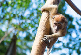 Crab-eating macaque on the tree — Stock Photo