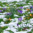 Royalty-Free Stock Photo: Colorful crocuses and snow