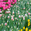 Many colorful tulips in a park — Stock Photo #24323197