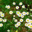 Bright daisies in the grass — Stock Photo