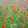 Beautiful blossoming poppies and cornflowers — Stock Photo #26482373
