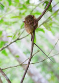 Philippine tarsier, smallest primate in the world — Stock Photo