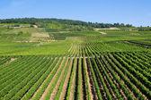 Wineyards in Rudesheim am Rhein — Stock Photo