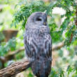 Stock Photo: Grey owl on branch