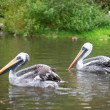 Stock Photo: Chile pelicans in nature