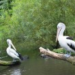 Chile pelicans in nature — Stock Photo