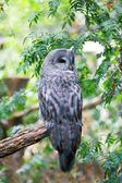 Grey owl on a branch — Stock Photo