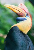 Knobbed hornbill in nature — Stock Photo
