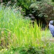 Stock Photo: Shoebill in nature