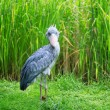 Stock Photo: Shoebill looking at camera