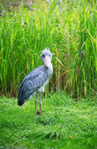 Shoebill looking at camera — Stock Photo