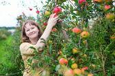 Girl gathering apples — Stock Photo