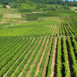 Stock Photo: Vineyards in Rudesheim am Rhein