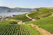 Vineyards in Rudesheim am Rhein — Stock Photo