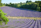Beautiful lavender field in France — Stock Photo
