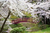 Cherry blossoms in a Japanese garden — Foto Stock