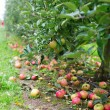 Ripe apples on the ground in an appletree garden — Stock Photo #48054987