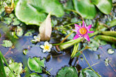 Beautiful lily in the pond — Stock Photo