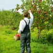 Man working in apple garden. - Stock Photo
