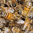 Stock Photo: Healthy honeybees.