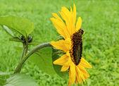 大黄蜂上一朵花. — 图库照片