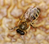 Bee. — Stock Photo