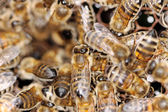 Working honeybees. — Stockfoto