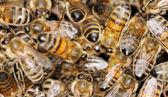 Healthy honeybees. — Stock Photo