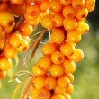 Stock Photo: Branch of seabuckthorn.