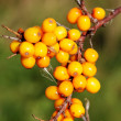 Branch of seabuckthorn. — Stock Photo